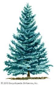 blue spruce plant britannica