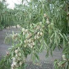 almond tree saplings almond tree saplings tiruppur kg date