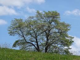 Kitchen Cabinets North Carolina Ten Most Common Trees North Carolina Cooperative Extension