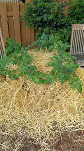 best plants for straw bale gardening what to grow in straw bales