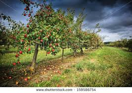 home interiors apple orchard collection apple orchard stock images royalty free images vectors