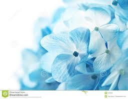 Blue Flower Backgrounds - hydrangea flowers background stock photos image 475333