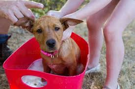 Bench Kelpie Puppies Sale Image Of A Father And Daughter Washing The Family Pet Kelpie