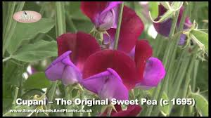 Sweet Pea Images Flower - scented sweet peas how to grow lovely sweet pea flowers like