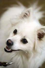 american eskimo dog in heat how to train your american eskimo dog to stop barking american