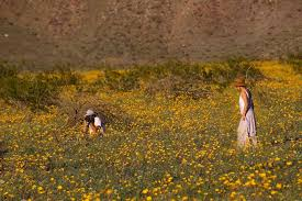 anza borrego super bloom you ve got to see this rare super bloom of wildflowers in the desert