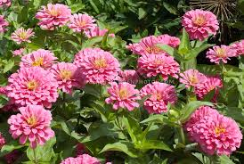 Zinnias Flowers Pink Zinnias Plant U0026 Flower Stock Photography Gardenphotos Com