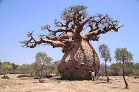 the boabab tree known as tree