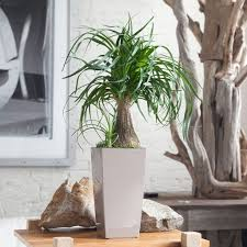 Small Indoor Trees by Small Ponytail Palm Houseplant With Modern Pot Versatile
