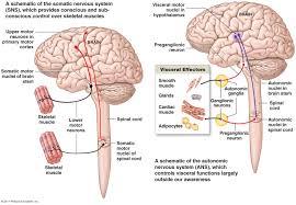Visceral Somatic Reflex The Nervous System On Emaze