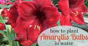 growing amaryllis in water how to plant amaryllis bulbs in water