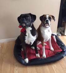boxer dog quebec boxer adopt local dogs u0026 puppies in alberta kijiji classifieds