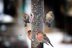 why male house finches can be different colors audubon