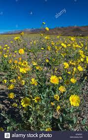 desert sunflowers wild flowers anza borrego desert state park
