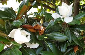 southern magnolia the squirrel nutwork