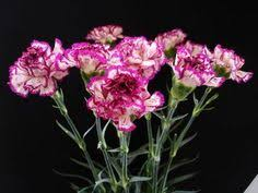 pink carnation flowers pink carnations carnation and flower