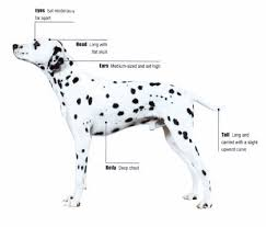 Dog Body Parts Anatomy Dalmatian Dog Pets Cute And Docile