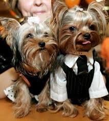 Halloween Costumes Yorkies Dogs Weird Halloween Pics Lion Eating Funny Yorkies Funny