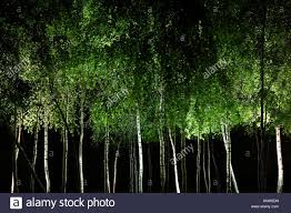 silver birch trees lit up at stock photo royalty free image