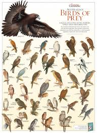 australian birds of prey poster australian geographic
