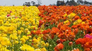 san diego flowers carlsbad flower fields open for 2017 season nbc 7 san diego