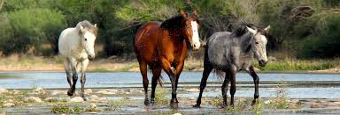 mustang horse home salt river wild horse management group