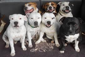 american pitbull terrier gray american pit bull terrier temperament behavior characteristics