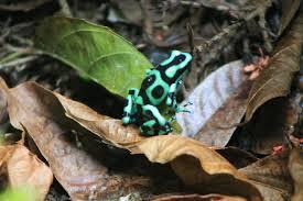 18 best frogs a chorus of colors images on pinterest amphibians