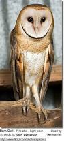 What Does A Barn Owl Look Like Barn Owls Tytonidae Beauty Of Birds