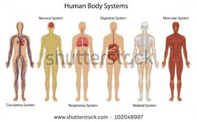 Picture Of Human Anatomy Body Muscle Anatomy Stock Images Royalty Free Images U0026 Vectors