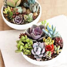 cute succulents 100 seeds mixed cute succulents seeds rare succulent potted plant