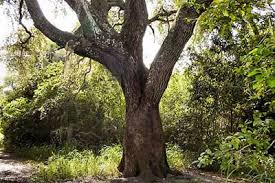 the tree hnn