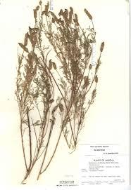 santa cruz native plants 38 best dalea images on pinterest clovers native plants and