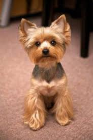 haircuts for yorkies best 25 yorkie haircuts ideas on pinterest yorkie cuts
