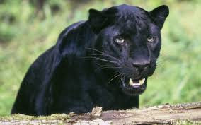 all black jaguar panther power on pinterest black panthers panthers and black