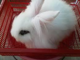 lion heads for sale angora rabbit lionhead bunnies sold 5 years 9 months lion