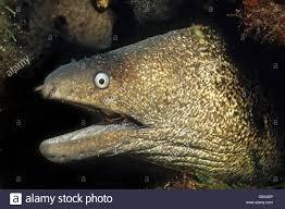 mediterranean moray eel roman eel elba tuscany italy europe