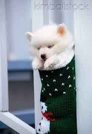 american eskimo dog yahoo 17 best images about dogs like prince charming on pinterest baby