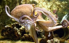 octopus wallpapers octopus wallpapers for desktop v 548