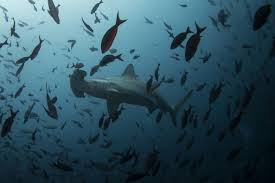 a chinese company illegally poached thousands of sharks and was