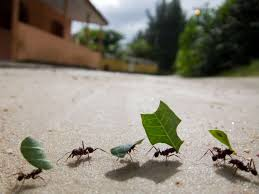 new study finds that ant groups process information better than