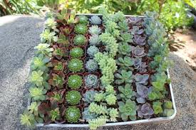 Flower Pot Wedding Favors - where to buy succulents for your wedding succulents and sunshine