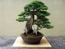bonsai trees in depth introduction