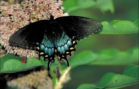 file spicebush swallowtail papilio troilus black butterfly with
