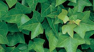 Non Invasive Climbing Plants - gardening australia plant profile hedera