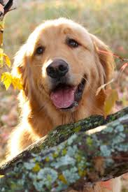 best 25 golden retriever training ideas on pinterest adorable