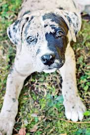 Great Dane Home Decor Great Dane Boxer Mix Puppy Dogs Pinterest Boxer Mix Puppies