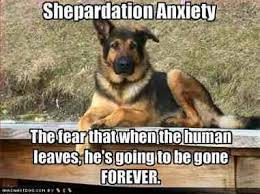 Funny German Shepherd Memes - shepherdation anxiety is real here s how you can help about