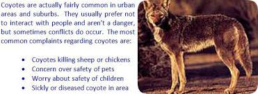 Coyote In My Backyard How To Get Rid Of Coyotes In Your Yard