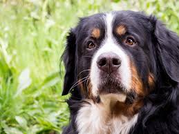 belgian sheepdog dogtime greater swiss mountain dog breed information pictures